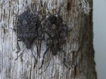 Brown Marmorated Stink Bugs on redwood driftwood