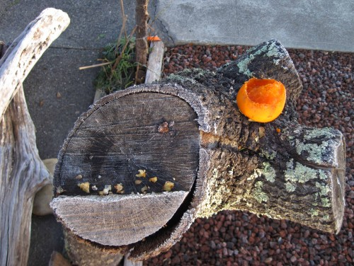 Top view of Oak Pedestal feeder with partly eaten persimmon.