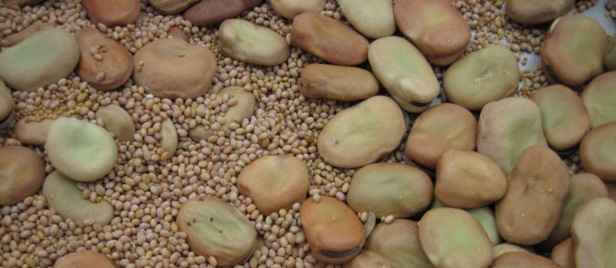 red and white clover seeds with fava bean