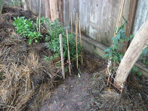 Dano's Great Newt Grotto habitat is buried under old straw mulch (left).