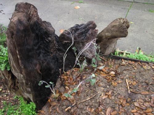Tree collard cuttings 3 weeks after propagation.