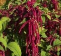 amaranth from http://www.vurv.cz/altercrop/amaranth.html