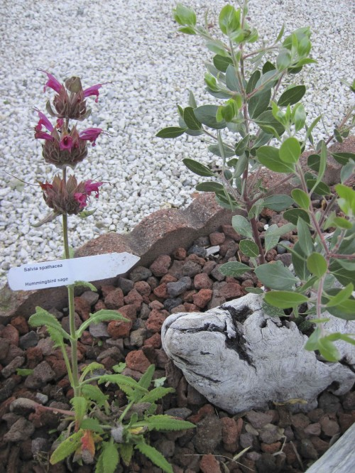 Hummingbird sage (Salvia spathacea) planted next to Monica Manzanita Mannequin habitat.