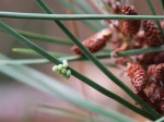 Insect Eggs on Pine Needle.