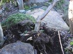 Close-up of nearly removed apricot tree and its rootball.