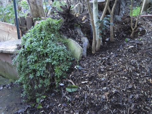 Woodchips are scooped aside to create a watering trench for the garden bed trees.