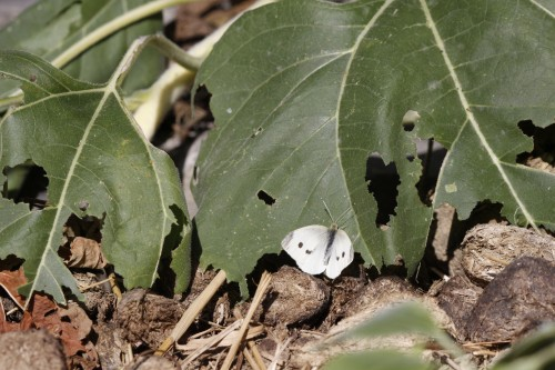 Male checkered white butterfly on sunflower leaf -- pic 1