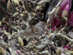 Golden Crowned Sparrow in Tulip MagnoliaTwig Pile