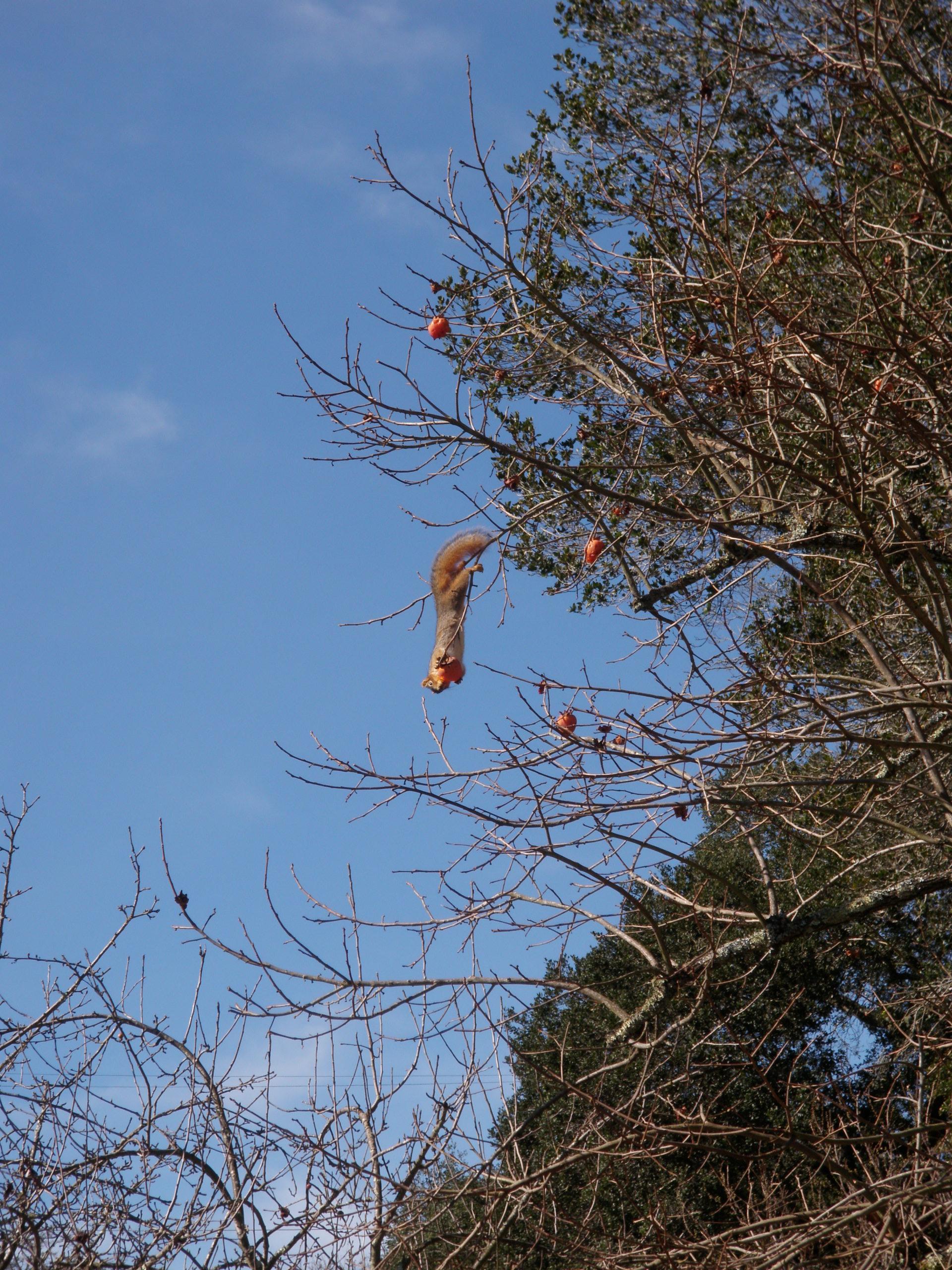 red squirrel, persimmon, persimmon tree, spore lore, habitat it and they will come, tony mcguigan, garden, gardening, gardens, native plants, permaculture, wildlife garden, habitat garden, conservation,