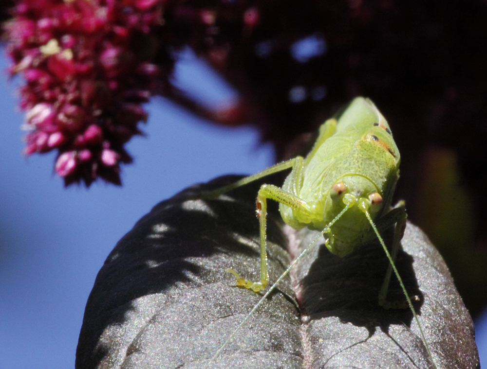 Great Green Bush Cricket on Amaranthus caudatus.