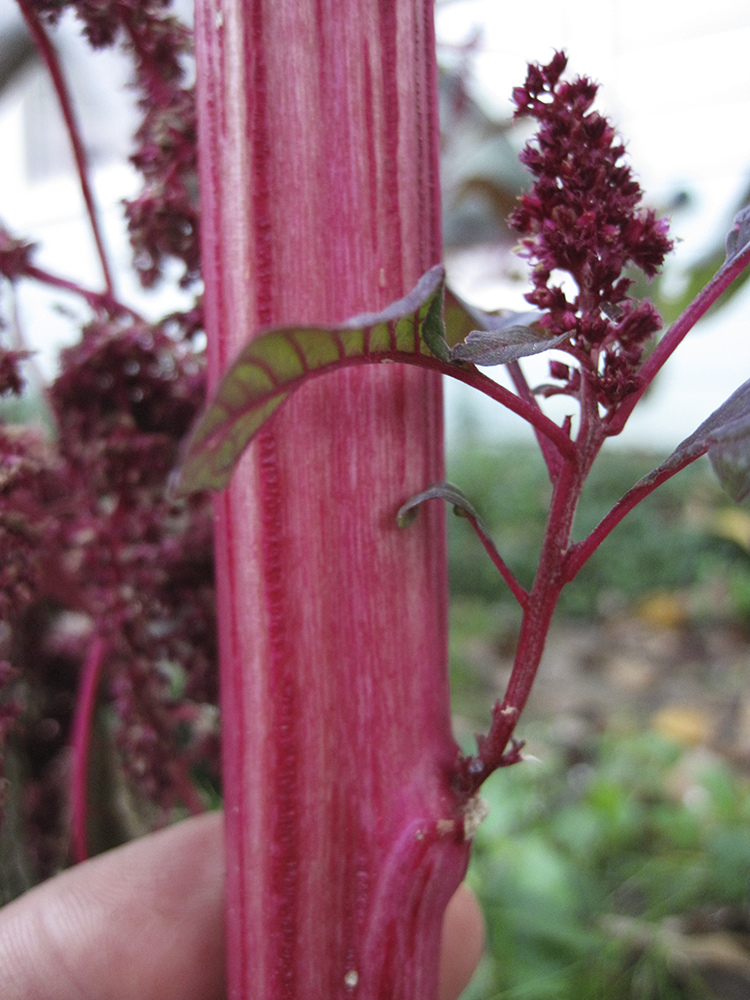 The red pigment in amaranth was used by the Native American Hopi tribe to dye cloth.
