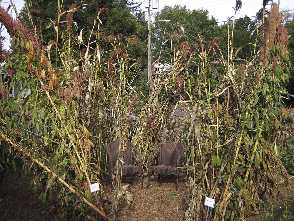 Mature amaranth in the fall surrounds garden seating.   Note the pale color of the seed heads -- time to harvest seed.