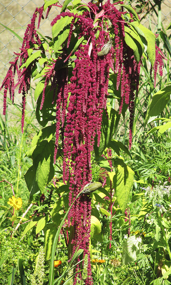 Birds feeding on Amaranthus caudatus. Photo credit: Diane Kennedy of Vegetariat (http://www.vegetariat.com).