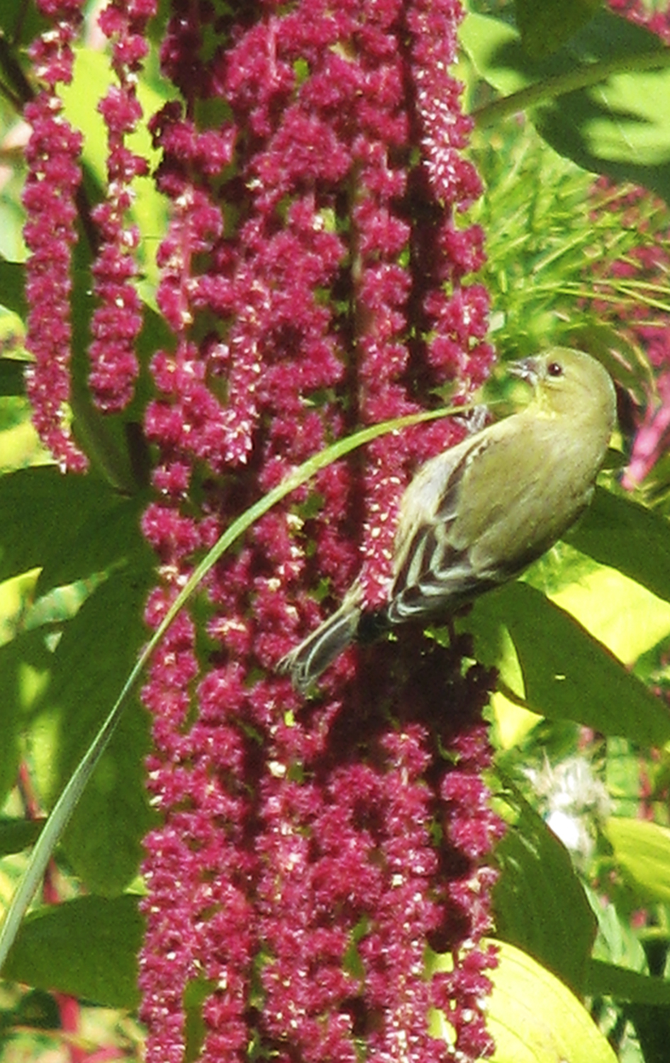 Bird feeding on Amaranthus caudatus. Photo credit: Diane Kennedy of Vegetariat (http://www.vegetariat.com).