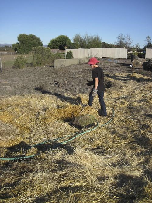 planting juncus patens