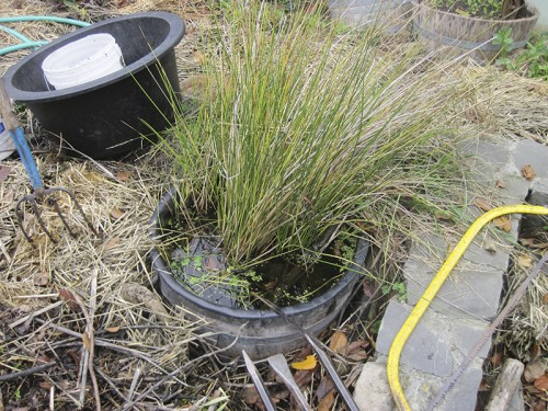 collecting juncus californians