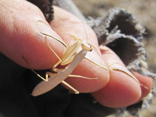 juvenile California mantis